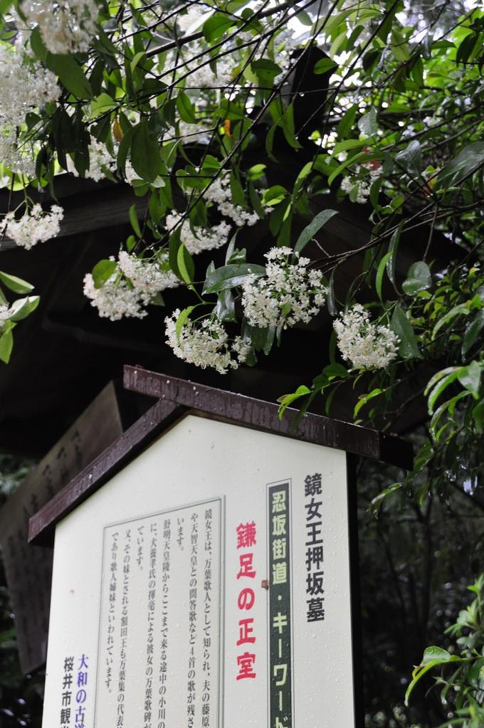 鏡女王墓に咲く「カナメモチ」の白い花
