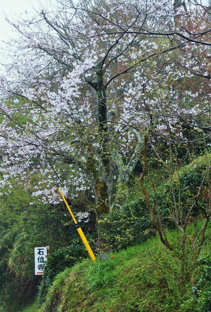 2012年4月11日 ソメイヨシノも咲きはじめました。