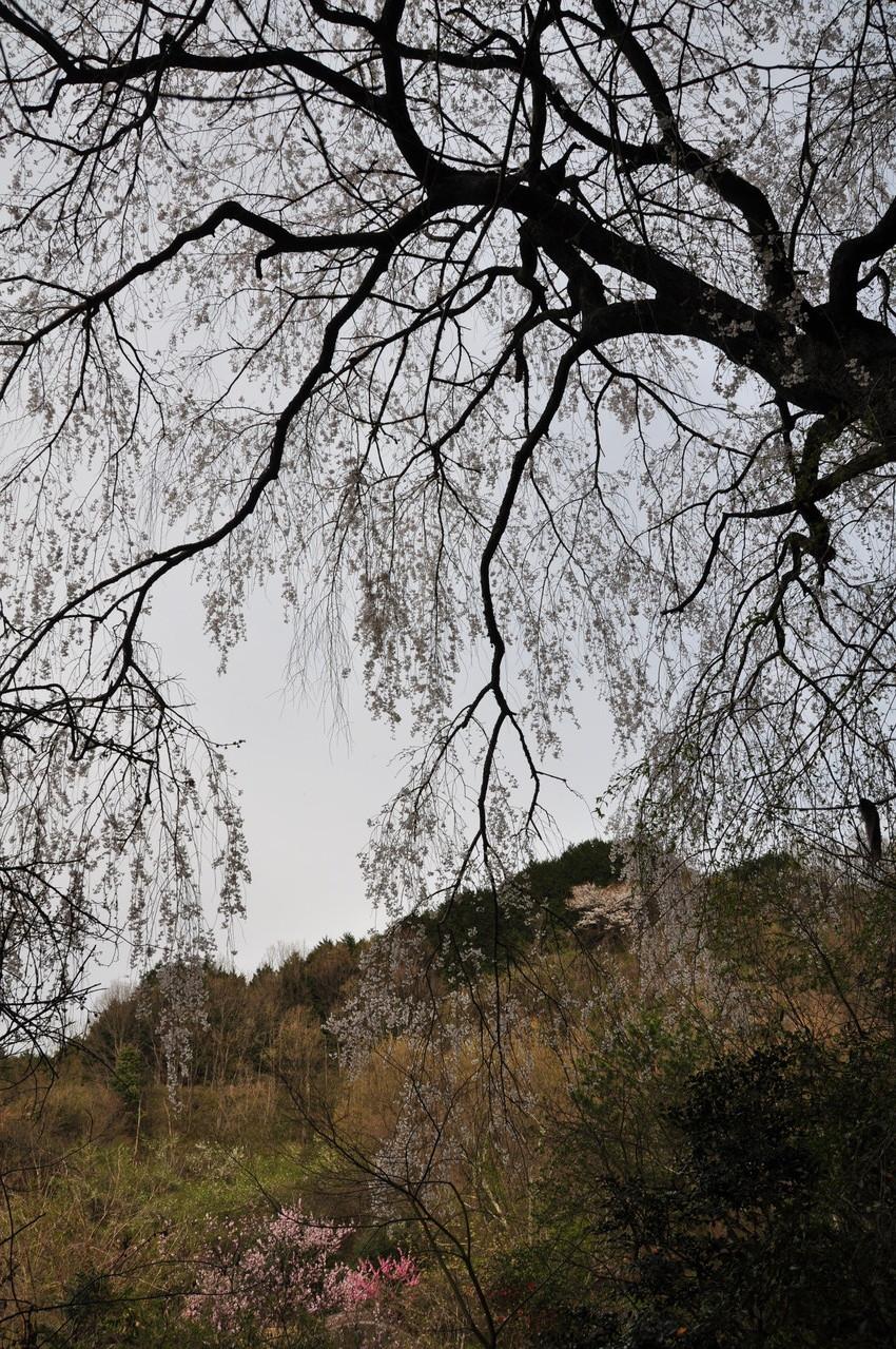 小倉谷の枝垂桜