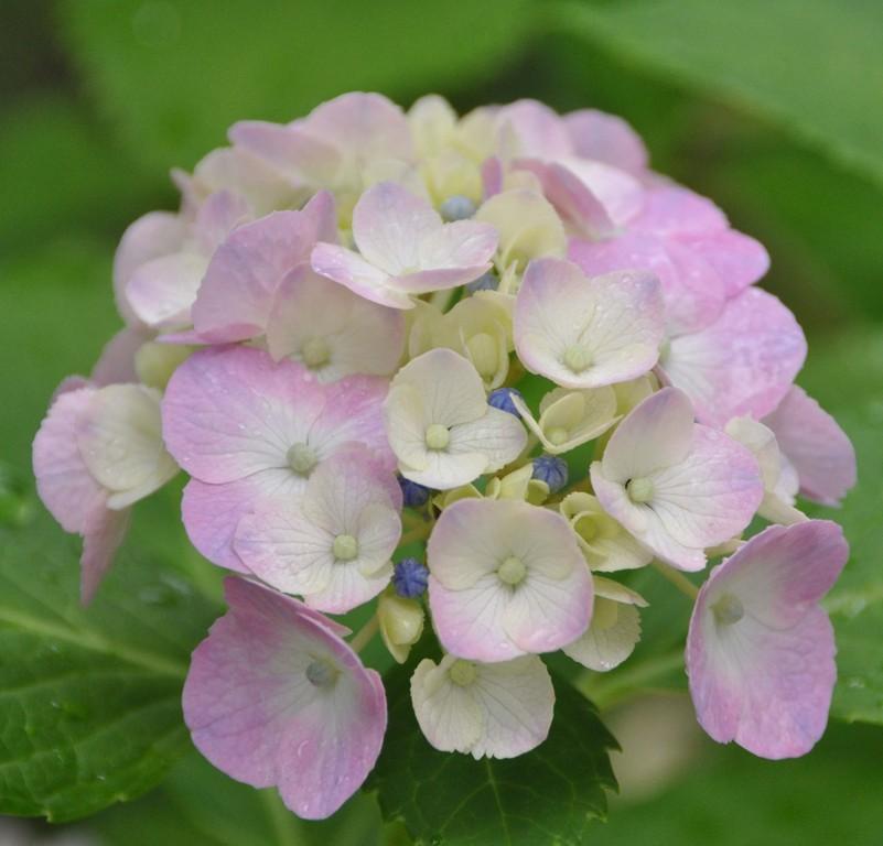 石位寺の紫陽花