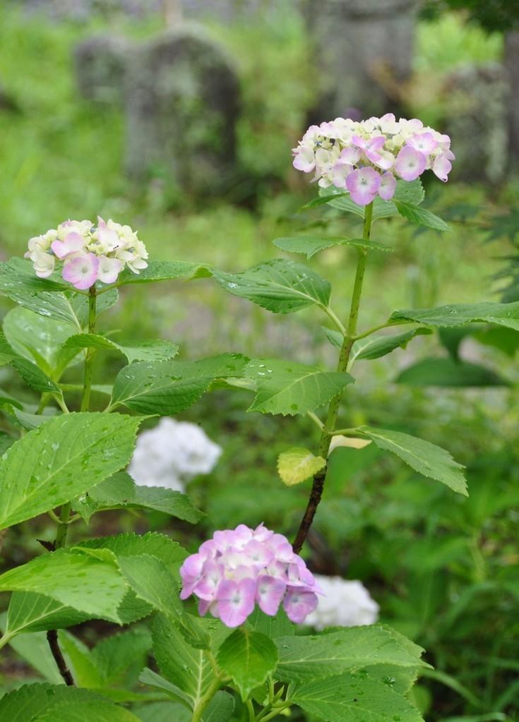 6月境内に咲くアジサイ