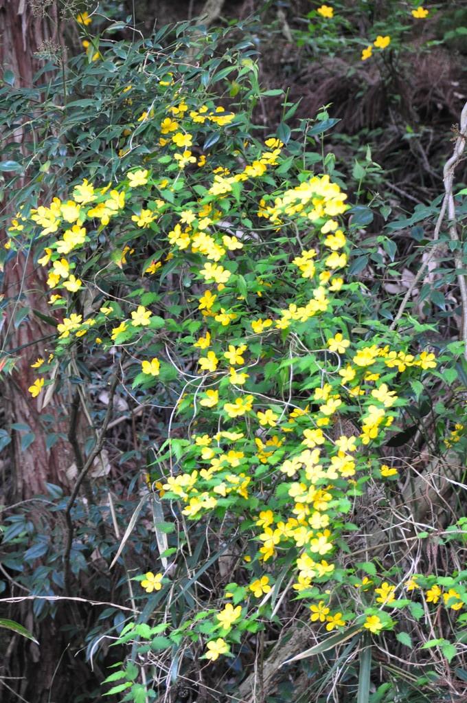 奥の谷に咲くヤマブキ