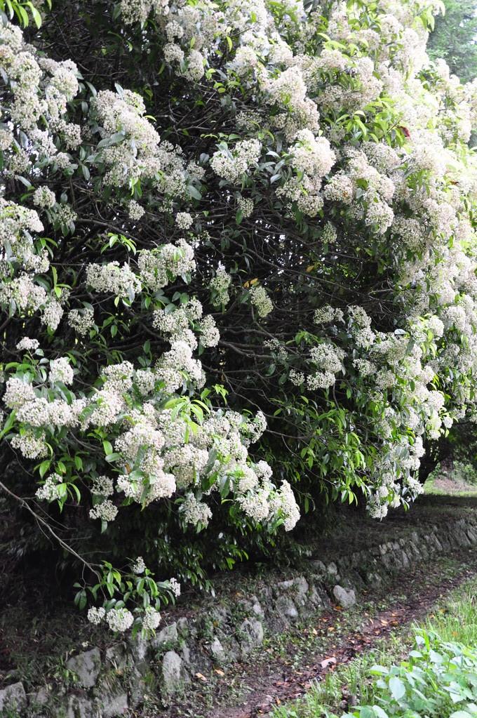 大伴皇女墓に向う道を覆う白い花