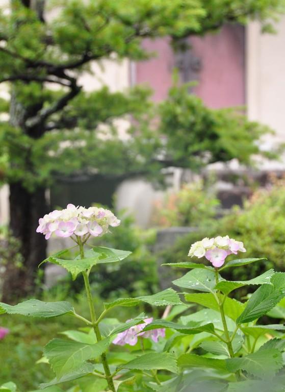 境内に咲くアジサイ
