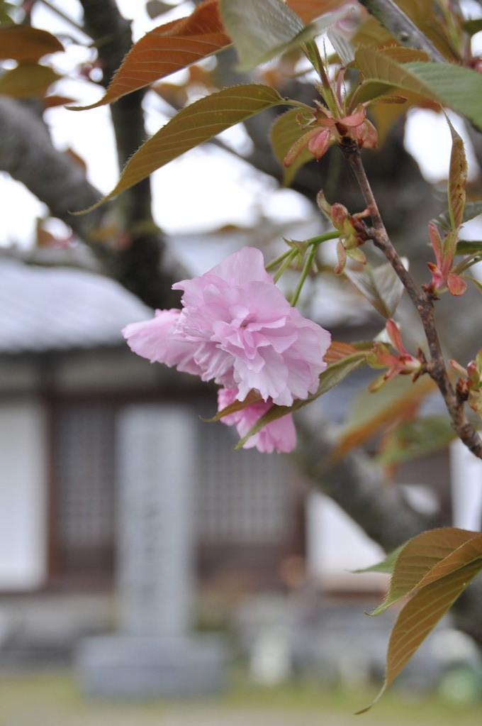 石位寺境内の八重桜、満開です。
