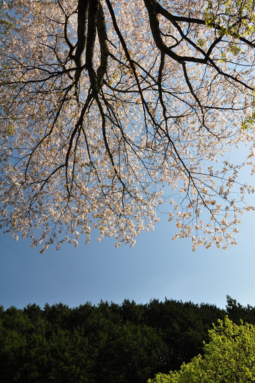 鏡王女墓の薄墨桜・・・やっと咲いてくれました。