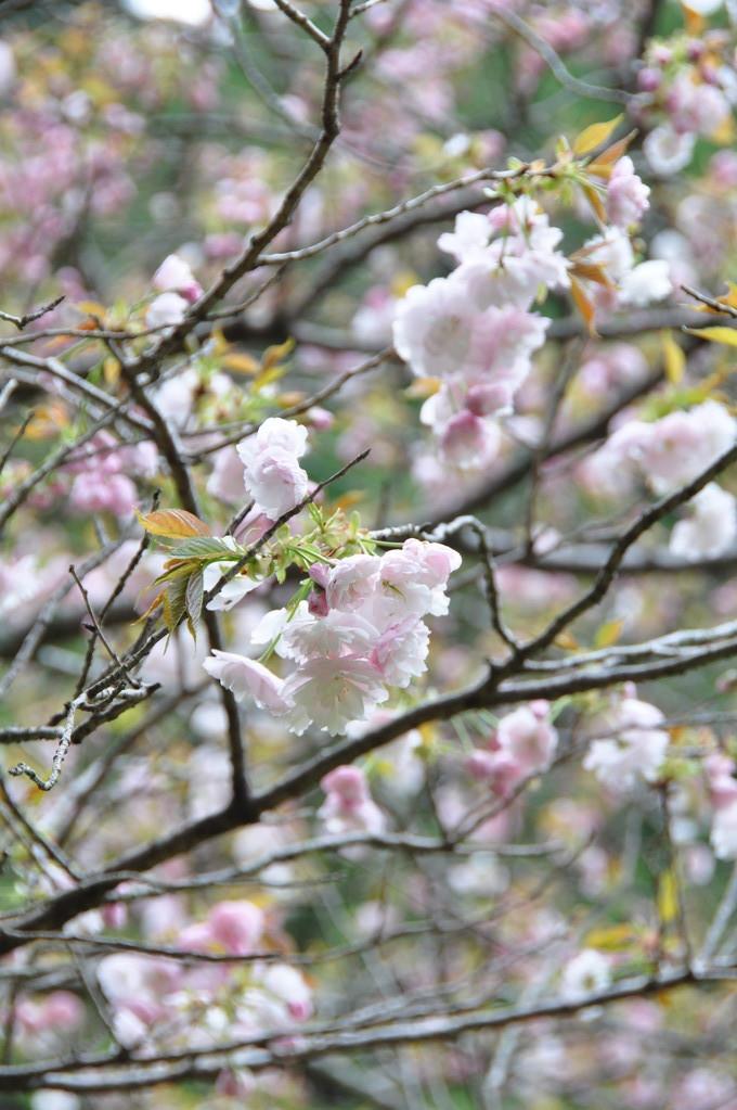 鏡女王墓に咲くボタン桜・・・もうすぐ満開に!