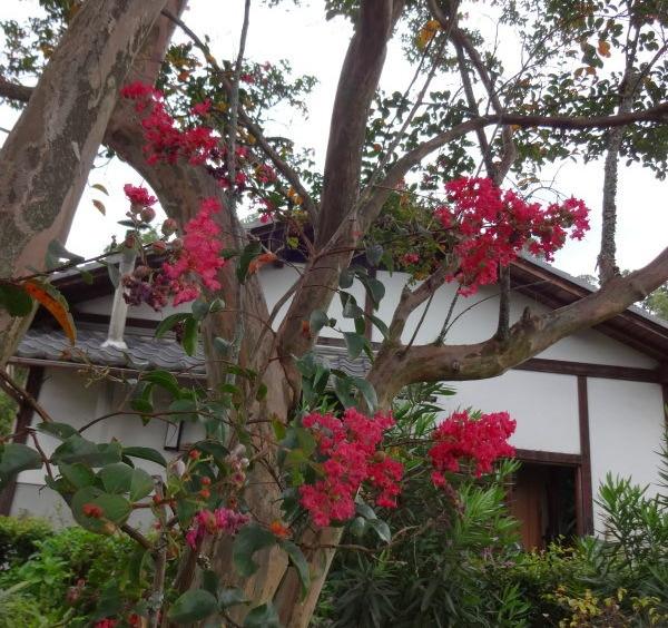 庫裏の横では、ラストの百日紅が満開です。