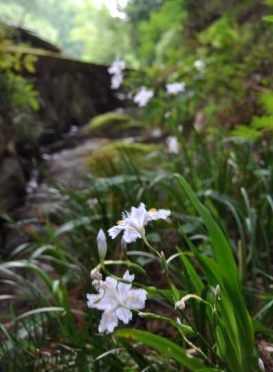 舒明陵の横、万葉歌碑近くに著莪 (しゃが)の花が・・・