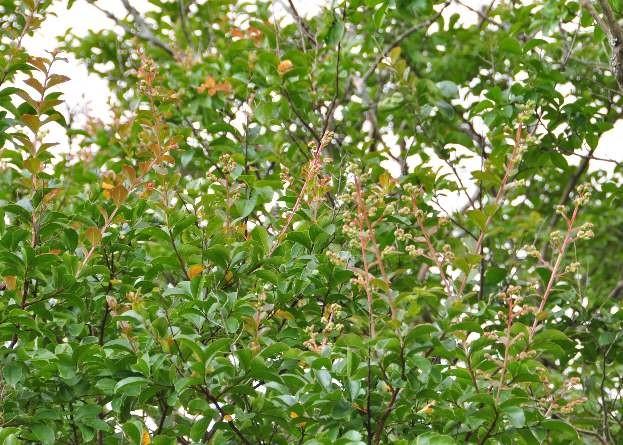 古木の百日紅(サルスベリ)は、まだ蕾ですが・・・