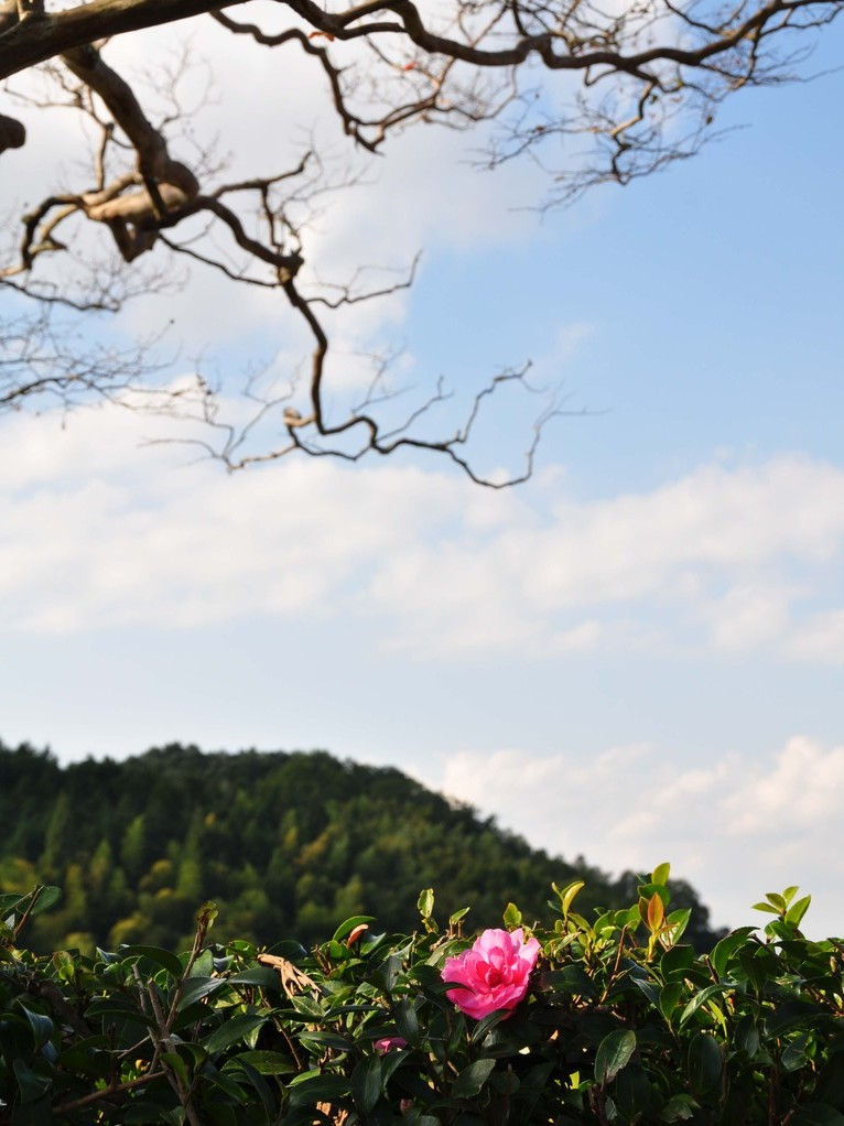 11月 境内にはサザンカも咲いています。