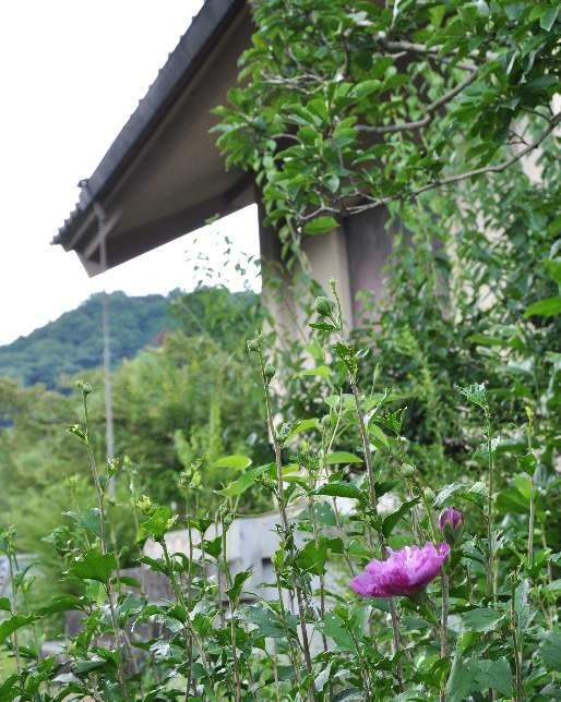 収蔵庫前の「ムクゲ」の花も咲き始めました。