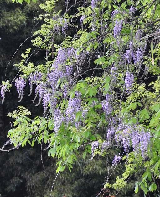 小倉谷に咲く藤の花
