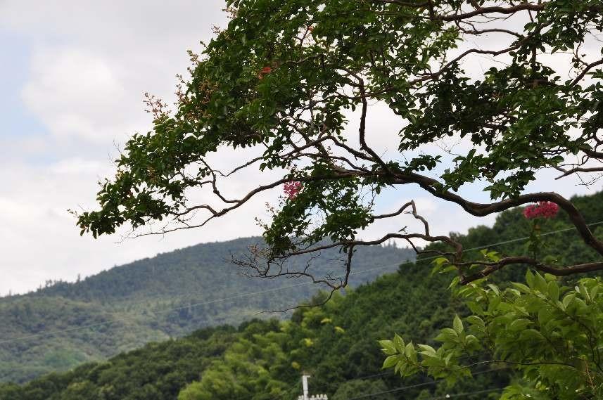 北西面は咲き始めました。遠くには三輪山が見えます。