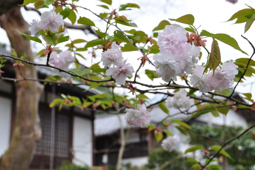 石位寺境内に咲く、優しい色の八重桜。