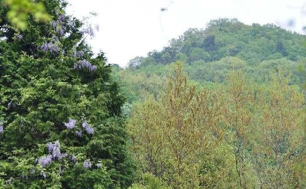 小倉谷に咲く藤の花・・・その先には忍坂山が・・・