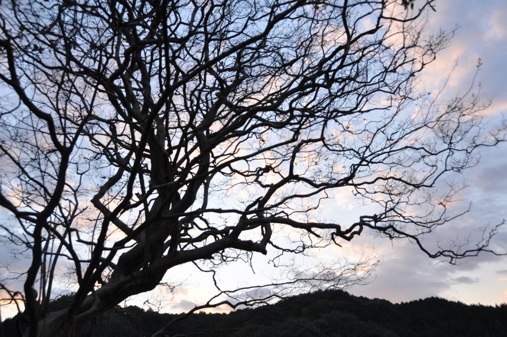 サルスベリの古木がシルエットになって・・・