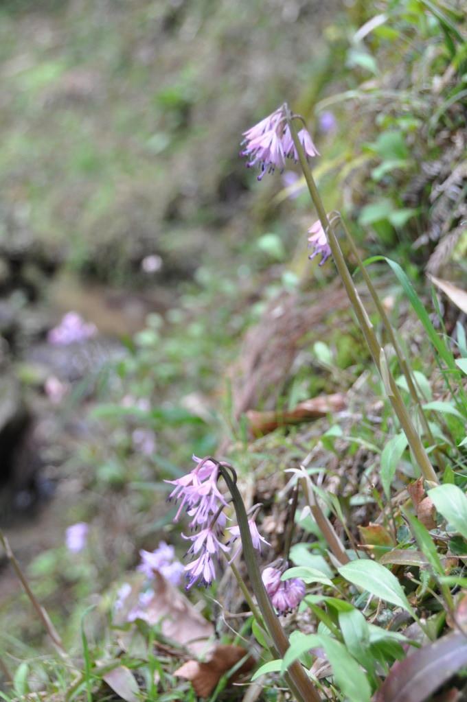奥の谷に咲く「猩猩袴(ショウジョウバカマ)」