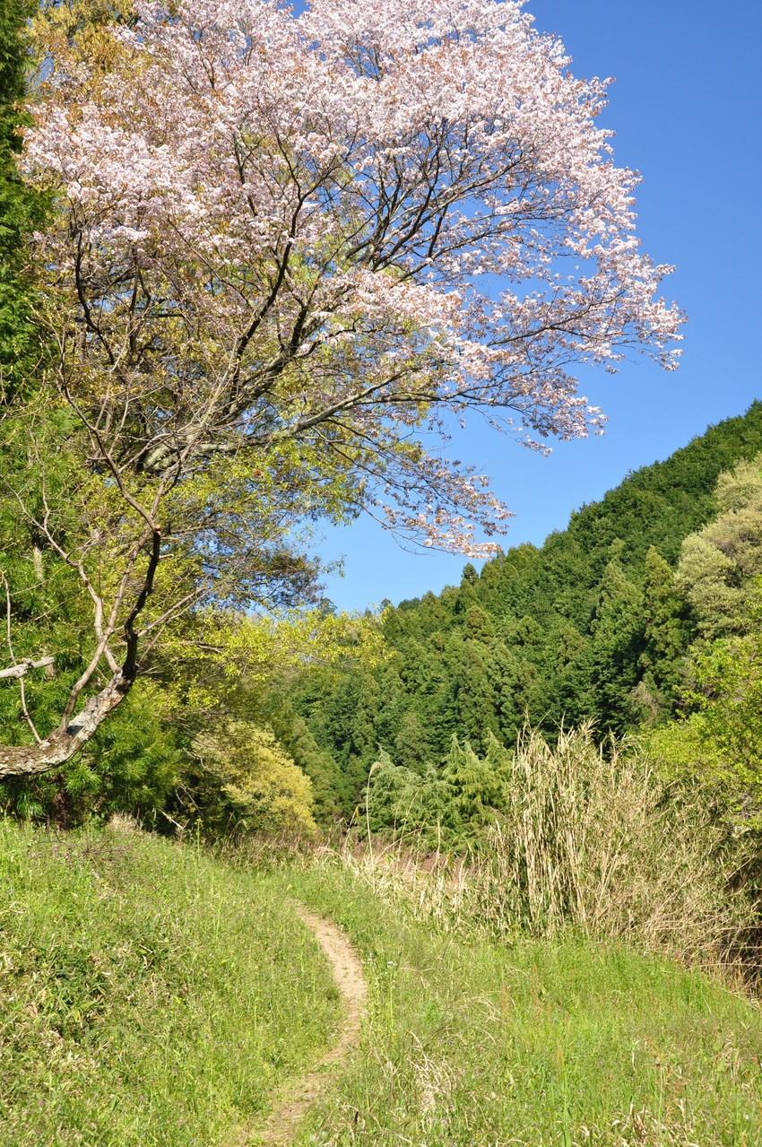 すぐ近くの山桜。