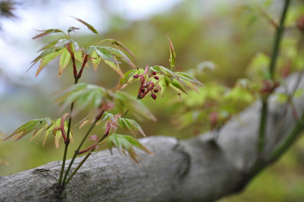 石位寺のカエデの新芽と花が・・・綺麗です。