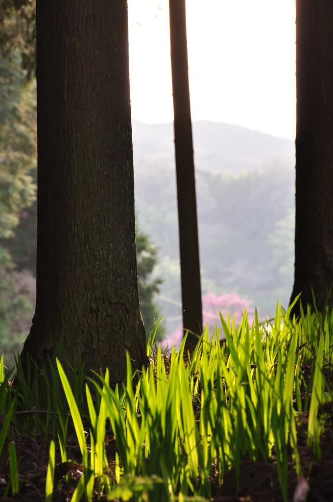 奥の谷の杉木立