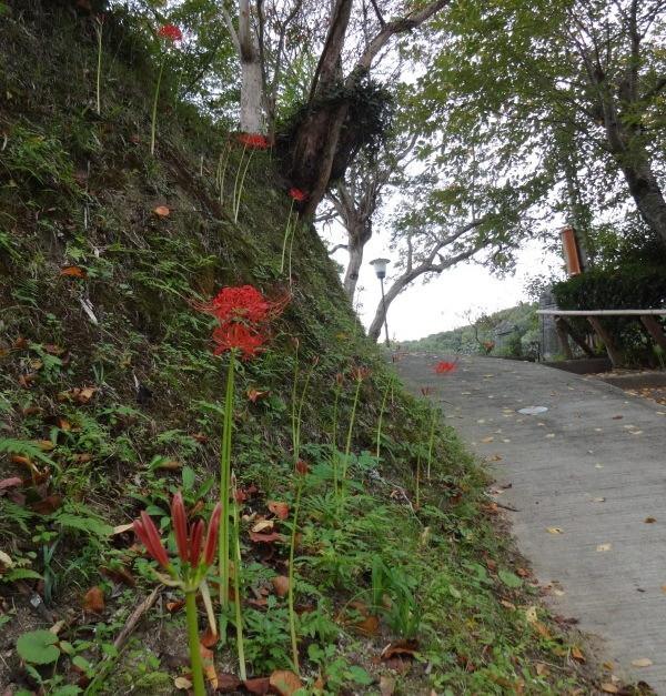 北側参道には彼岸花が咲き始めました。