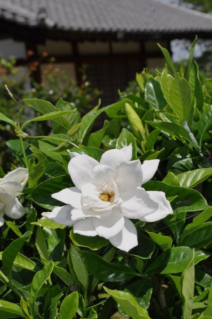 石位寺に咲くクチナシの花