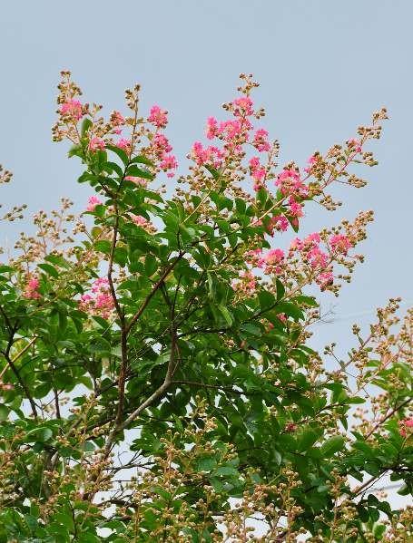 北東側のサルスベリが咲き始めました。