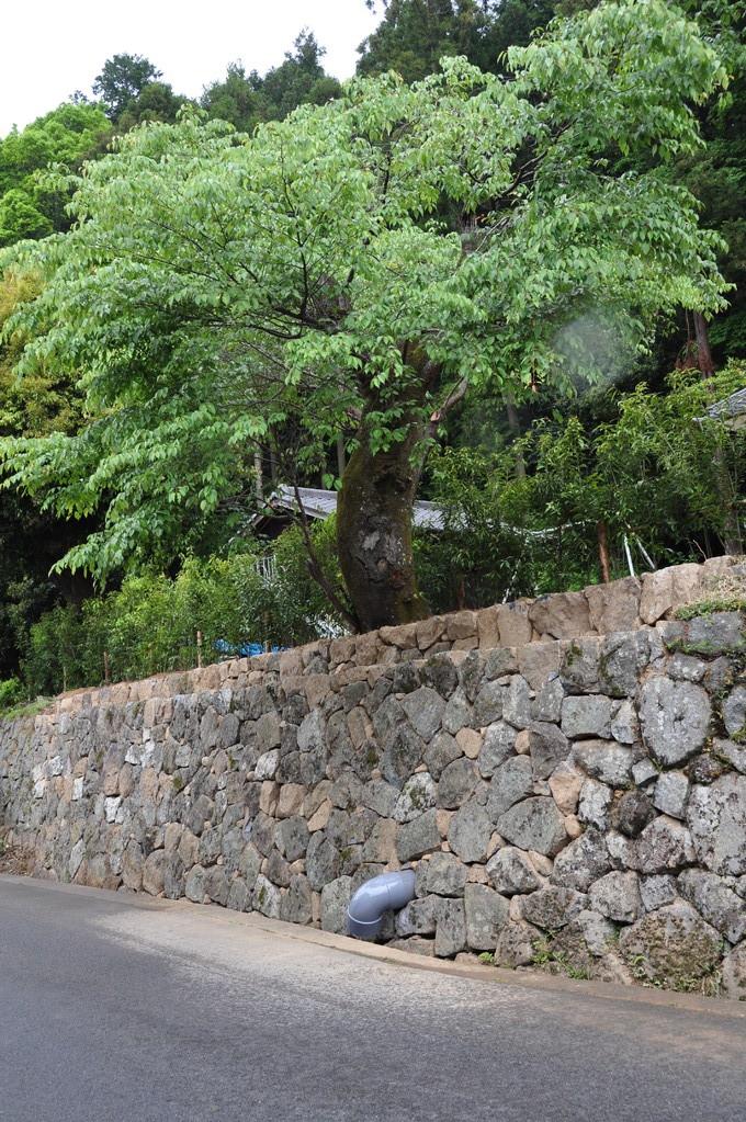 山桜も助かり・・・綺麗に積み直された石垣。