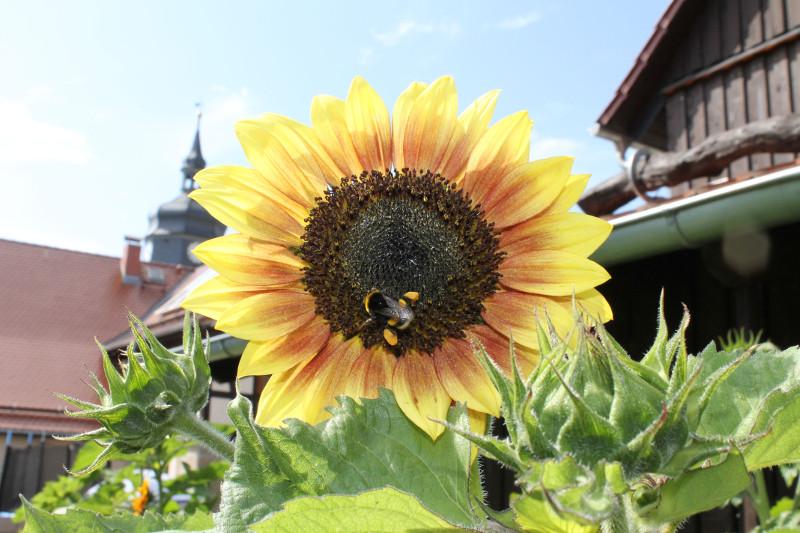 Die Sonnenblume erfreut auch die Hummeln