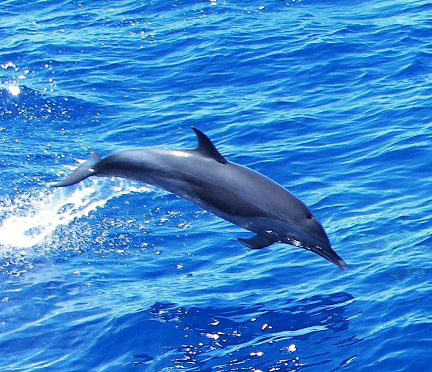Fleckendelfin