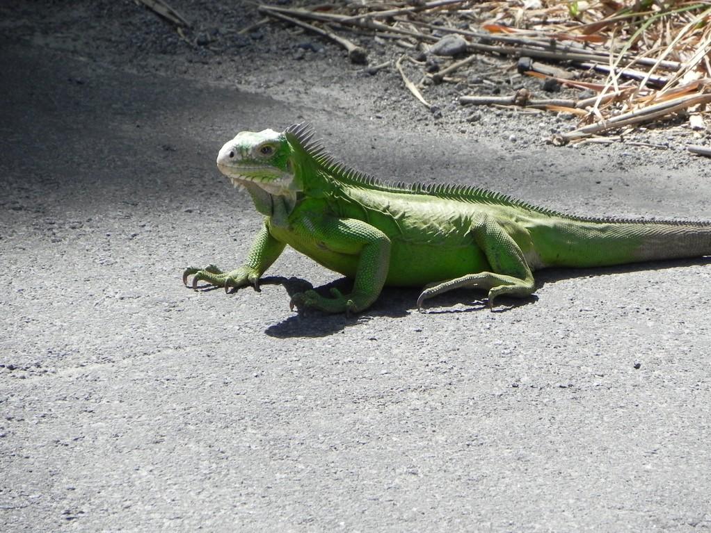 Leguan beim Sonnenbad