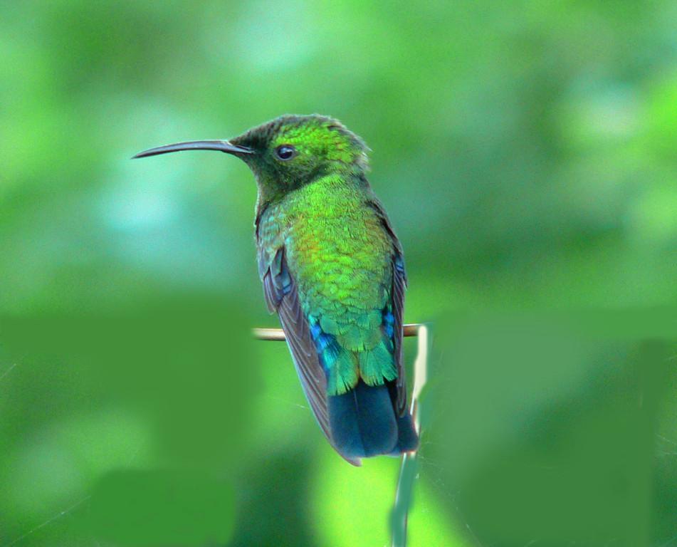 Blaubrust Kolibri