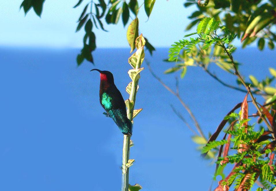 Rotbrust Kolibri