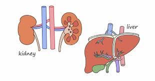体の仕組みQA:肝腎要(かなめ)