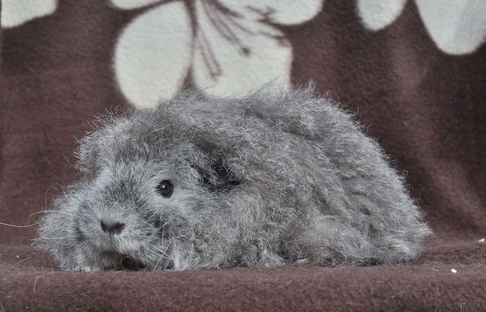 texel agoutie argentée : on voit le poils banc/noir/blanc, avec le contour des yeux et de la bouche blancs