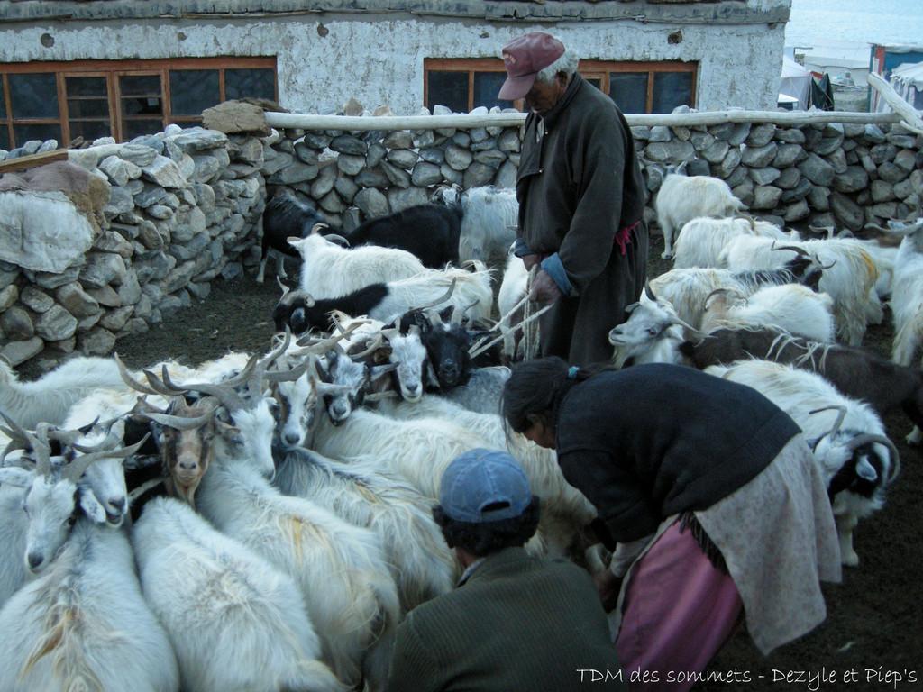Traite des chèvres pashmina