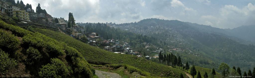 Champs de the, au fond la ville de Darjeeling