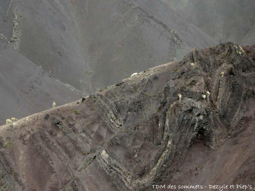 Chevres tibetaines