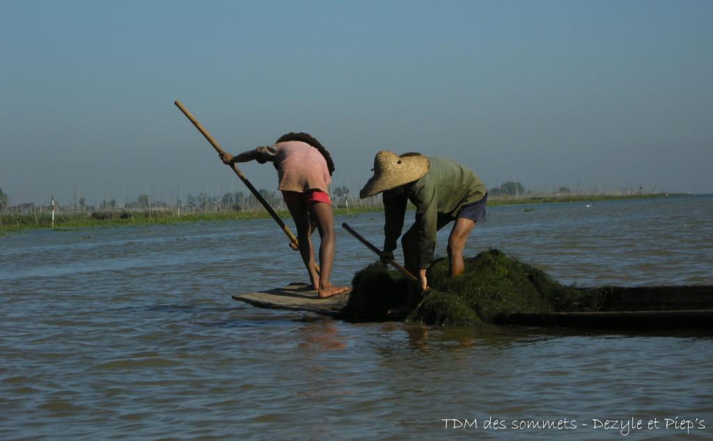 Ramassage d'algues pour les cultures flottantes