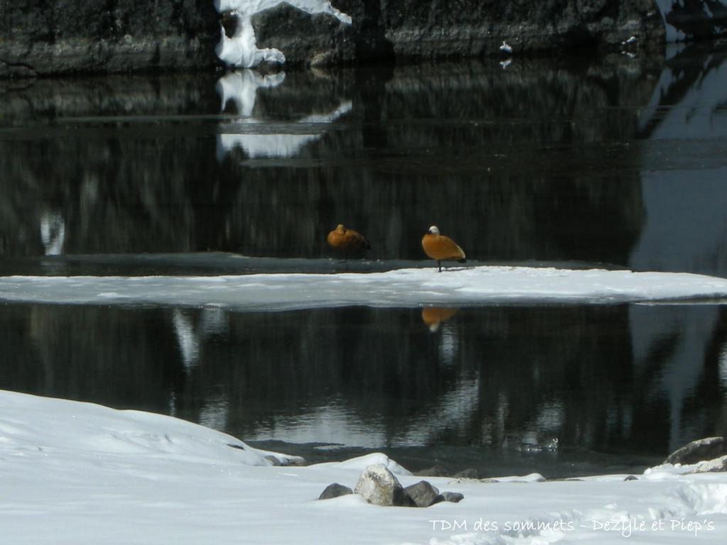 Canards à Gokyo