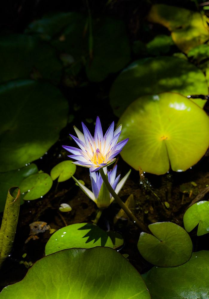 Zarte Begegnung mit einer wunderschönen Blüte der tropischen Seerose, die sich im Halbschatten einem Sonnenstrahl entgegen reckt. Nahaufnahme mit der Leica M9, 50mm Summicron. Foto: Klaus Schoerner