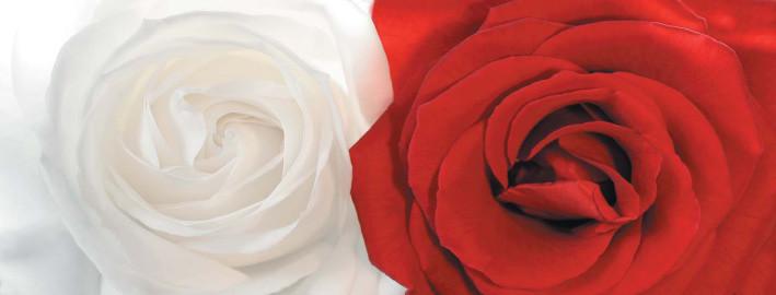 rot weisse Rosen - Pan