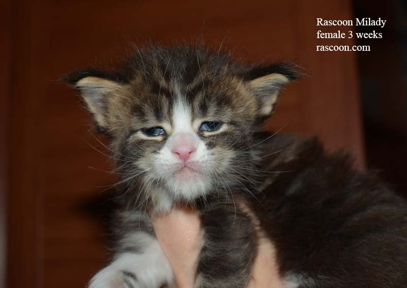 Rascoon Milady female 3 weeks