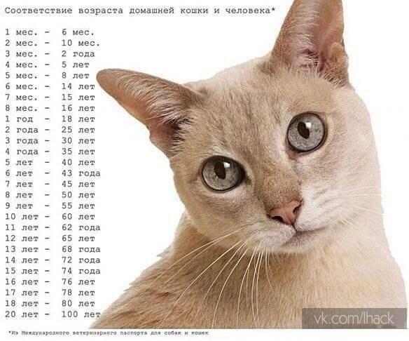 Соответствие возраста кошки и человека
