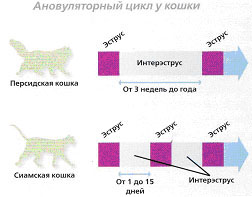 Рис.7. Ановуляторный циклу кошки