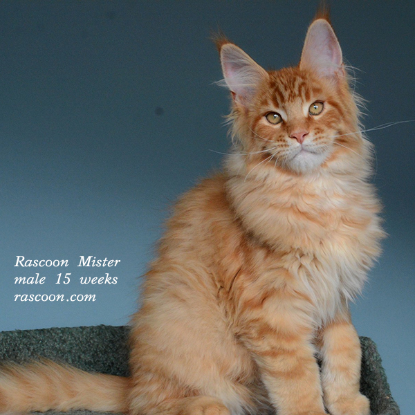 Rascoon Mister male 15 weeks
