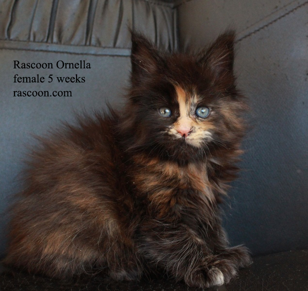 Rascoon Ornella female 5 weeks