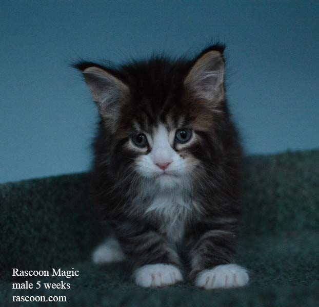 Rascoon Magic male 5 weeks