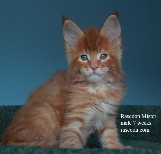 Rascoon Mister male 7 weeks